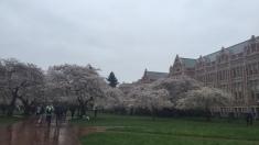 Cherry blossoms at the University of Washington