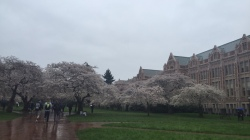 Cherry blossoms at the University of Washington